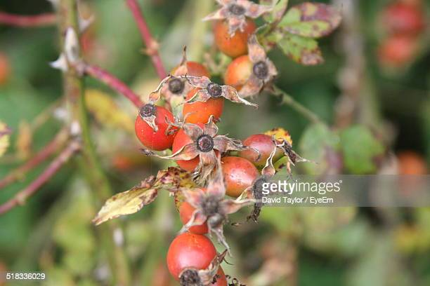 Close-up Of Rose Hips Plant