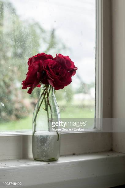 close-up of rose in vase on window sill - cambridge new zealand stock pictures, royalty-free photos & images