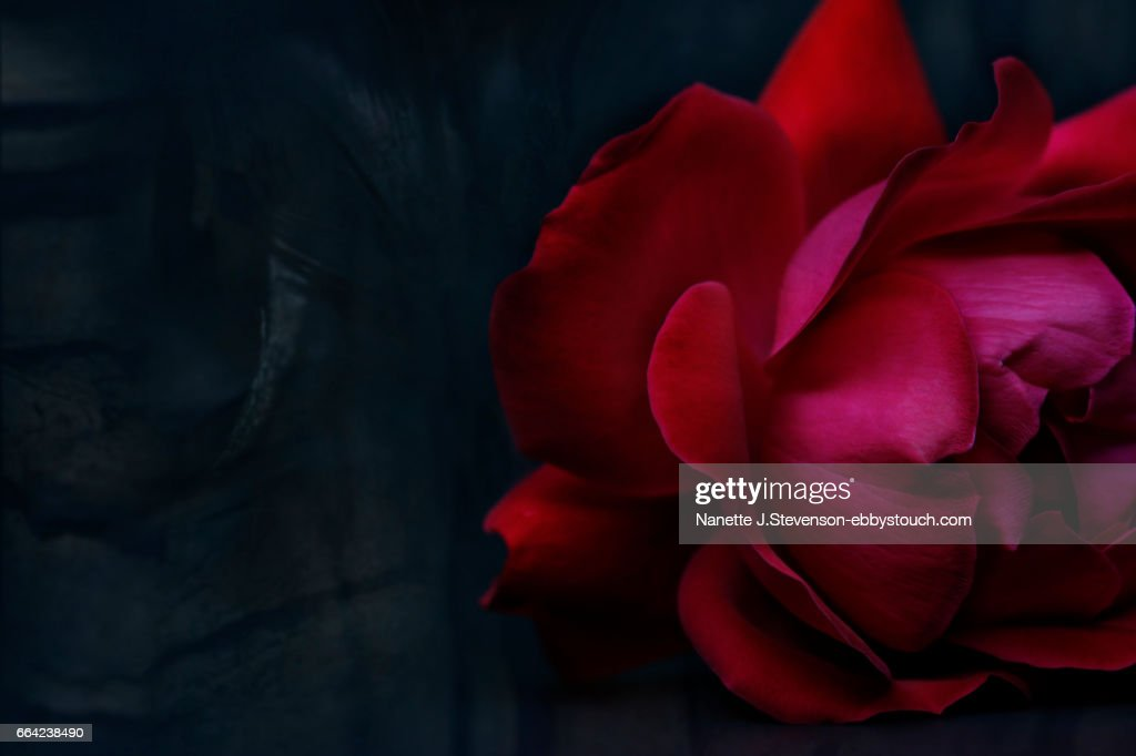 closeup of rose on dark background : Stock Photo