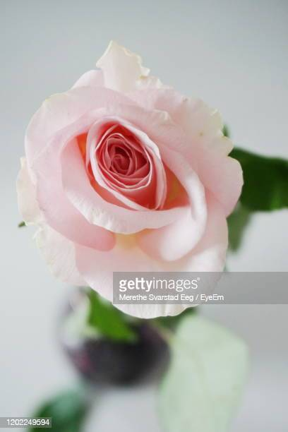 close-up of rose over white background - millennial pink stock pictures, royalty-free photos & images