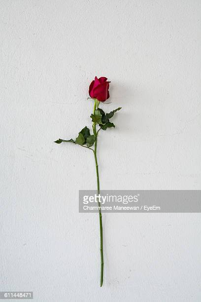 close-up of rose over white background - red roses stock pictures, royalty-free photos & images
