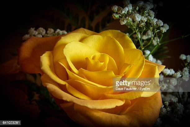close-up of rose - dave faulkner eye em stock pictures, royalty-free photos & images