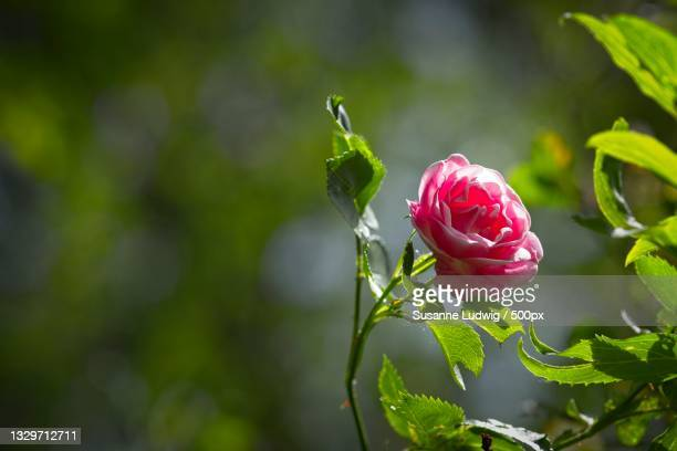 close-up of rose plant,germany - susanne ludwig stock pictures, royalty-free photos & images