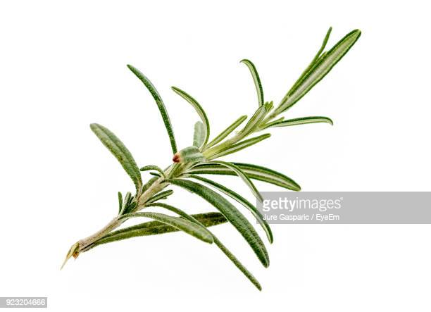 Close-Up Of Rosemary Over White Background