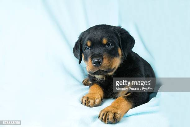 Close-Up Of Rottweiler Puppy By Curtain