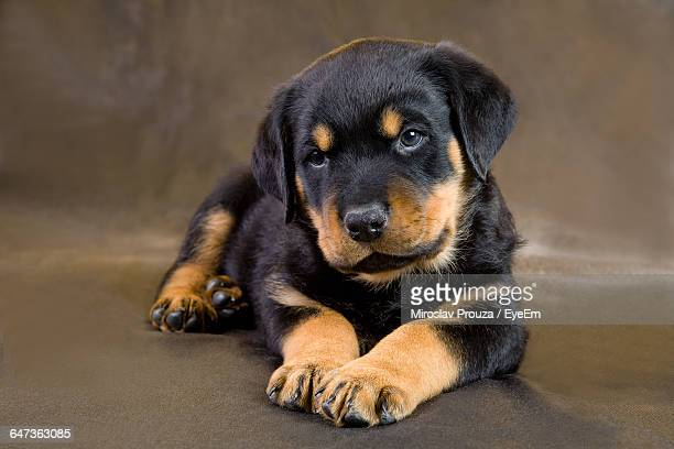 Close-Up Of Rottweiler Puppy Sitting On Floor