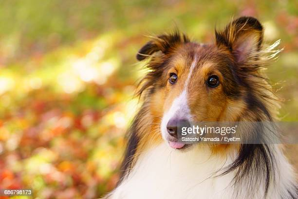 close-up of rough collie - collie stock photos and pictures