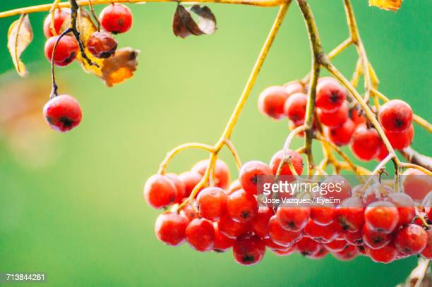 Close-Up Of Rowanberries Hanging On Tree