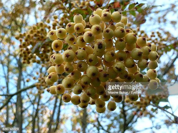 Close-Up Of Rowanberry Bunch On Tree