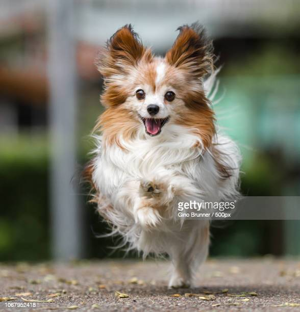 close-up of running papillon dog - papillon dog stock photos and pictures