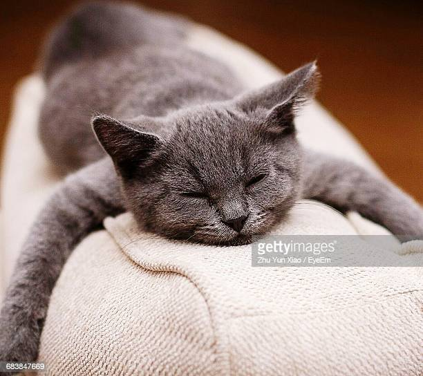 Close-Up Of Russian Blue Cat Resting On Couch