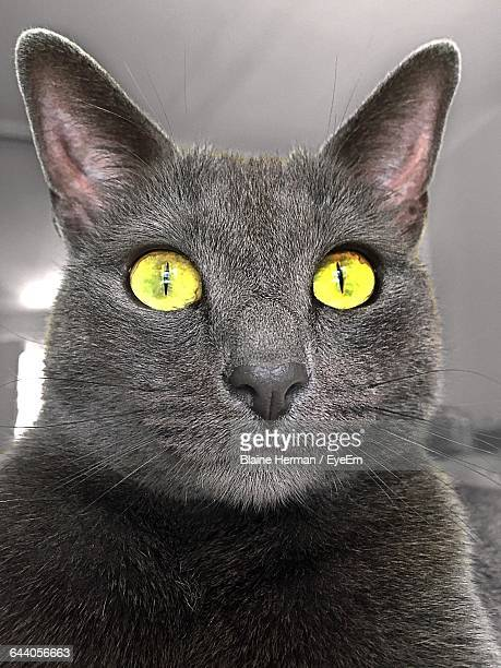 Close-Up Of Russian Blue Cat With Yellow Eyes