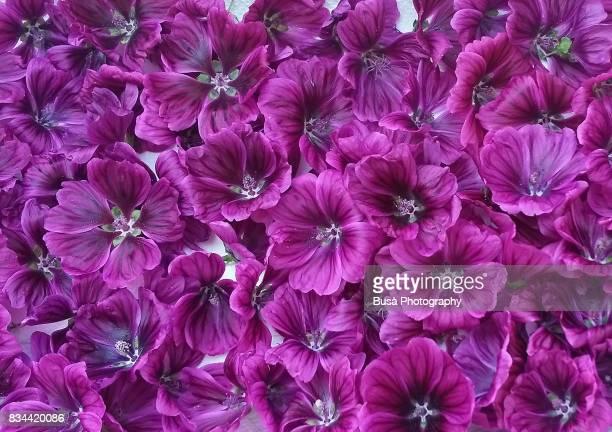 Close-up of Saffron flowers
