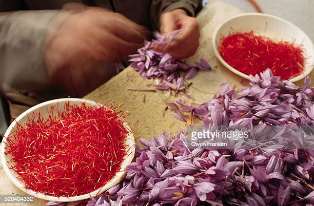 Closeup of Saffron Stigma Being Harvested From Blossoms