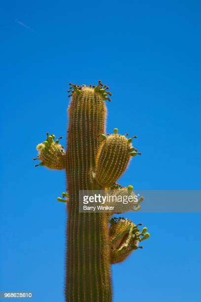 Close-up of saguaro cactus with new buds on multiple arms in springtime