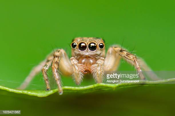 close-up of salticus scenicus or jumping spider on leaf - big eyes stock photos and pictures