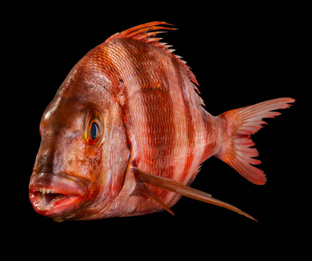 Close-up of saltwater sea bream against black background