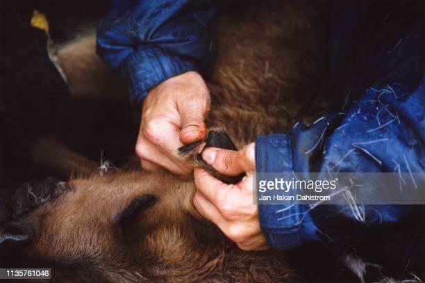 closeup sami man labeling reindeer calf