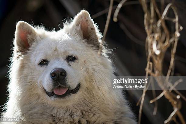 close-up of samoyed dog - andres ruffo stock photos and pictures