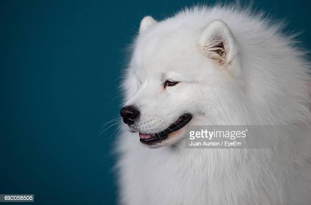 Close-Up Of Samoyed Looking Away Against Blue Background