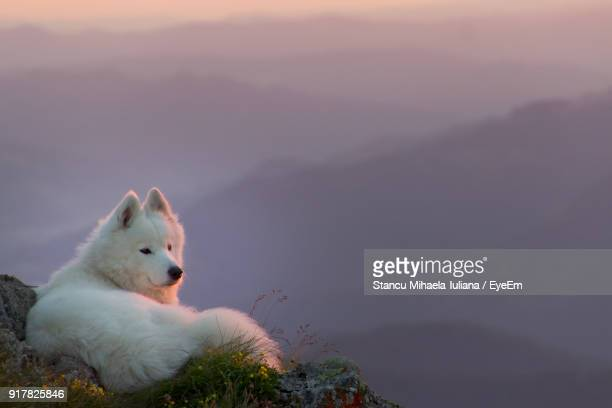 Close-Up Of Samoyed Sitting On Mountain During Sunset