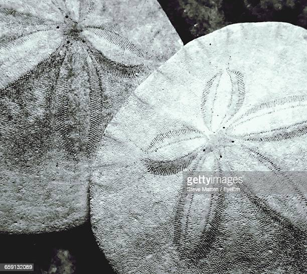 close-up of sand dollars - steve matten stock pictures, royalty-free photos & images