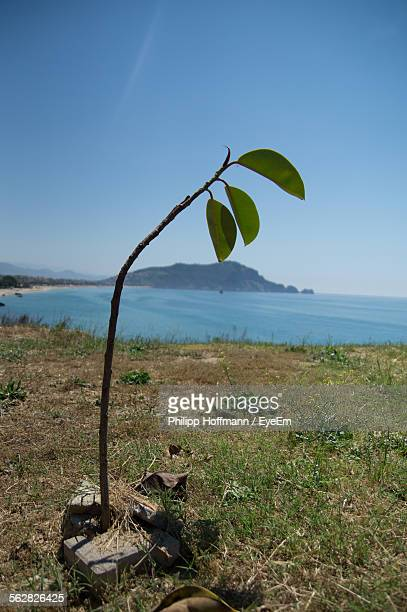 Close-Up Of Sapling With Sea In Background