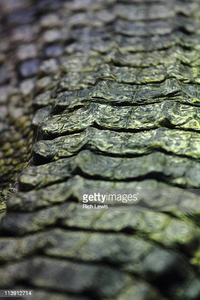 Close-Up Of Scales On Crocodile Back