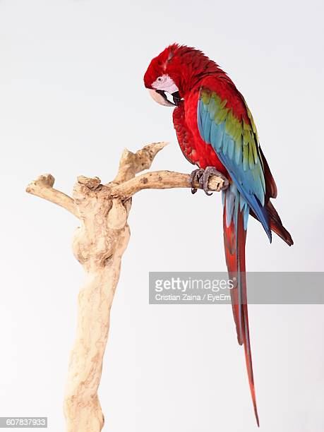 close-up of scarlet macaw on wood against white background - scarlet macaw stock pictures, royalty-free photos & images