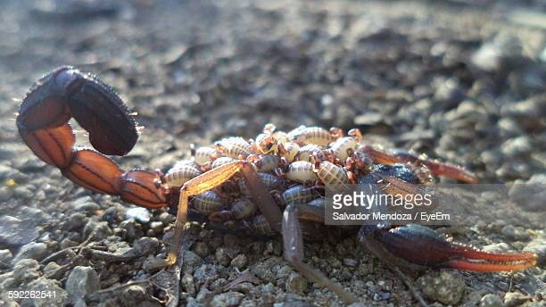 60 Top Scorpion Pictures, Photos, & Images - Getty Images