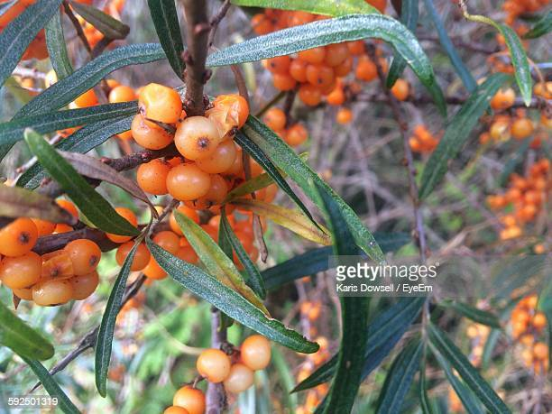 Close-Up Of Sea Buckthorn Berries Growing On Shrub