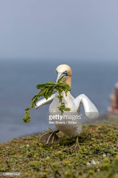 close-up of sea gannet perching on grass,germany - bird's nest stock pictures, royalty-free photos & images