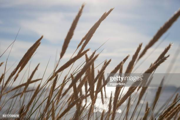 close-up of sea grass with sky - reed grass family stock photos and pictures