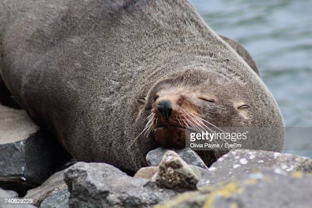 Close-Up Of Sea Lion Sleeping On Rock