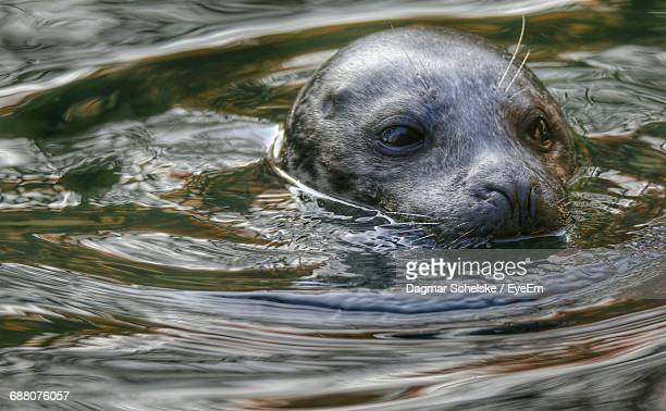 Close-Up Of Sea Lion Swimming In Sea
