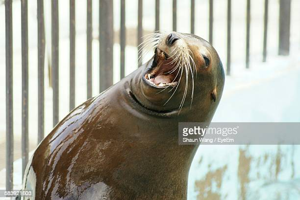 Close-Up Of Sea Lion With Mouth Open In Zoo