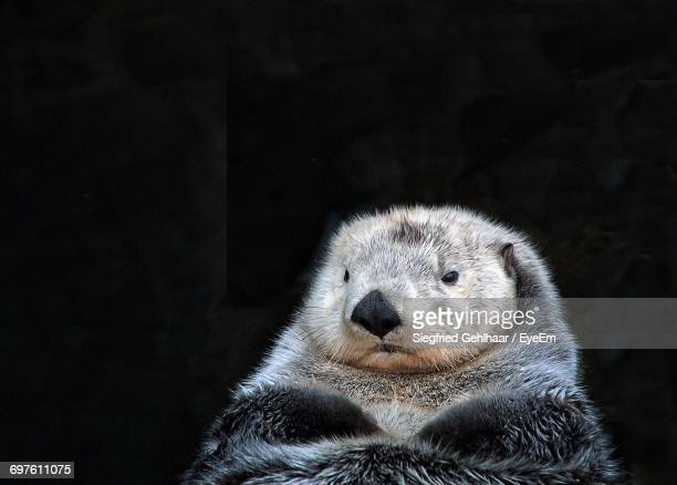 close-up of sea otter at night - sea otter stock photos and pictures