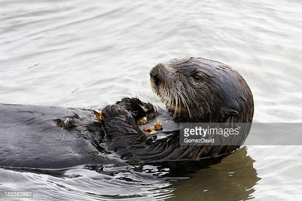 close-up of sea otter eating shellfish - sea otter stock photos and pictures