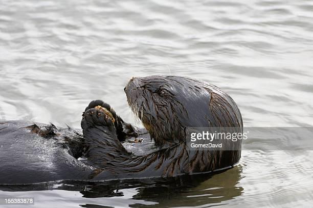 Close-up of Sea Otter Eating Shellfish