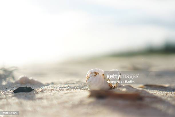 Close-Up Of Sea Shell On Sand At Beach