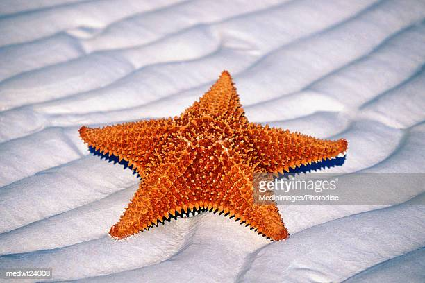 close-up of sea star on beach in lucayan national park on grand bahama island, bahamas, caribbean - lucayan national park stock photos and pictures