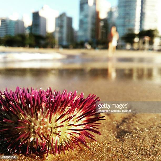 Close-Up Of Sea Urchin On Shore