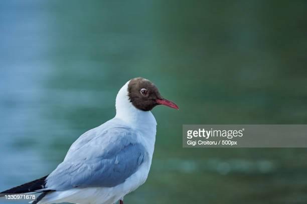 close-up of sea water bird perching on lake,northampton,united kingdom,uk - northampton stock pictures, royalty-free photos & images