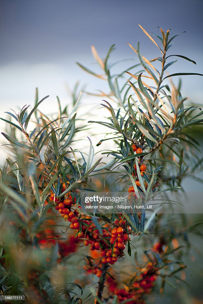 Close-up of sea-buckthorns with berries : Photo