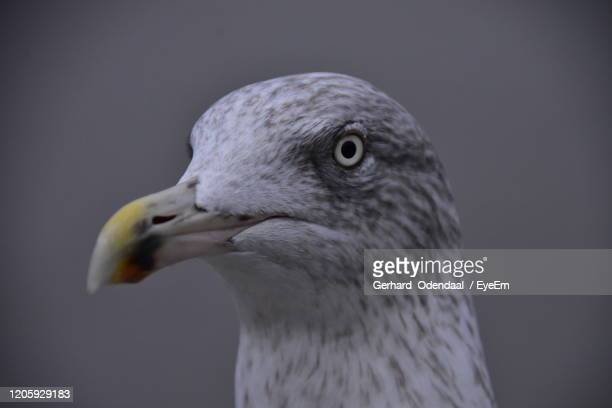 close-up of seagull against blue background - eagles london stock pictures, royalty-free photos & images