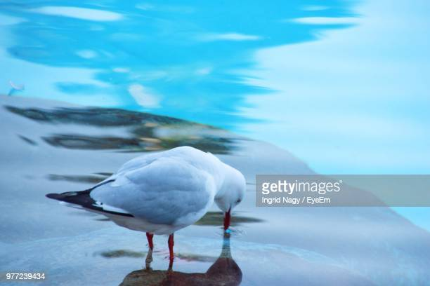 Close-Up Of Seagull Drinking Water In Sea