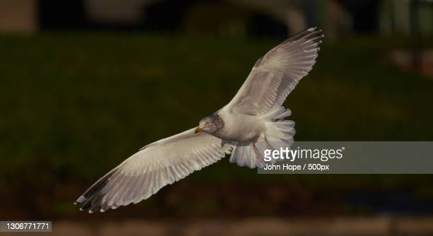 close-up of seagull flying outdoors,dundee,united kingdom,uk - dundee scotland stock pictures, royalty-free photos & images