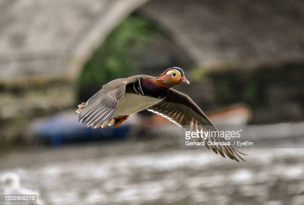close-up of seagull flying - eagles london stock pictures, royalty-free photos & images
