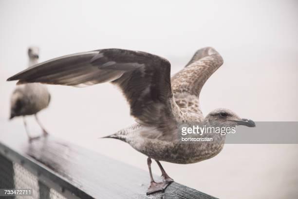 close-up of seagull flying - bortes cristian stock-fotos und bilder