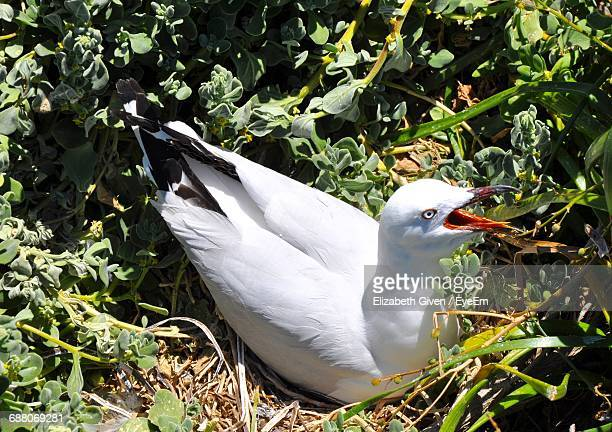 Close-Up Of Seagull In Nest